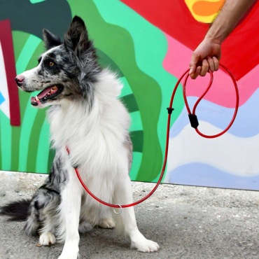 Gray and White Border Collie in front of a colorful mural wearing a red Multi Use Leash. A man´s hand on the top right enters the image holding the leash.